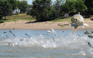 In this June 13, 2012 photo, an Asian carp jumps from the Illinois River near Havana, Ill., during a study on the fish's population. THE CANADIAN PRESS/AP, John Flesher