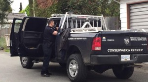 A 200lb black bear has been tranquillized off East 53rd in South Vancouver. April 28/15)