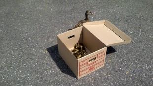 Rescued Ducks