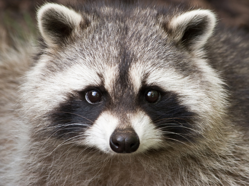 Toronto cop taken to hospital after bite from sick raccoon ... Raccoon Face