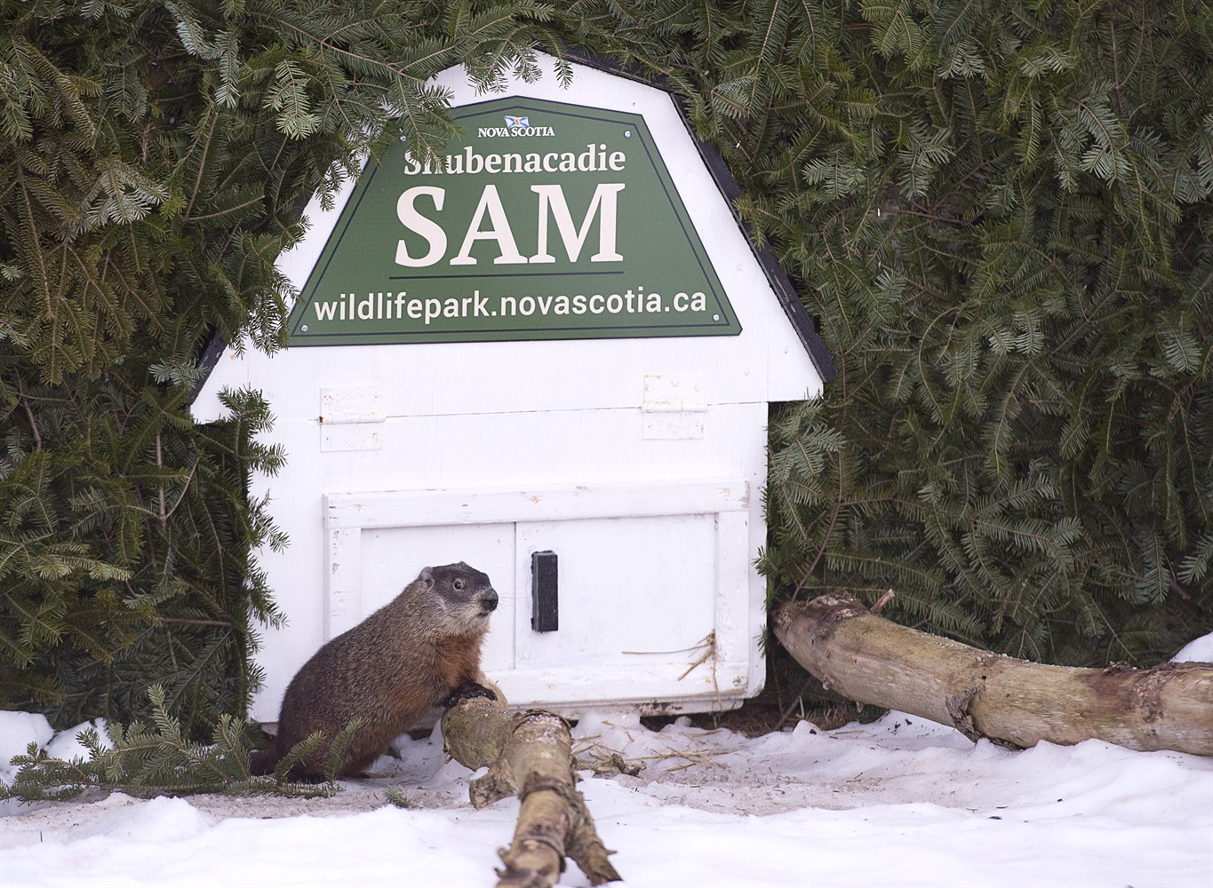 Canadian groundhogs issue clashing weather predictions