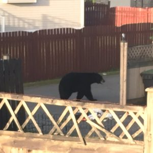 Unsecured trash attracts bear in Port Coquitlam.