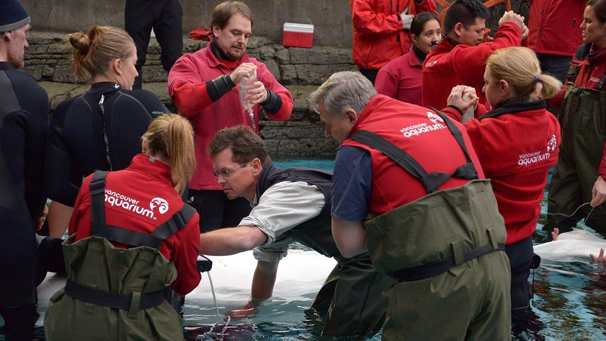 Health of Vancouver Aquarium's lone beluga whale deteriorates