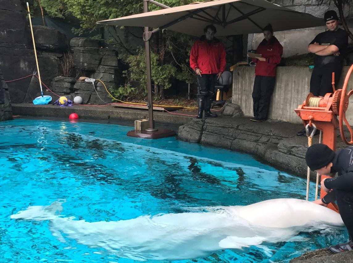 Update expected on death of Aurora at Vancouver Aquarium