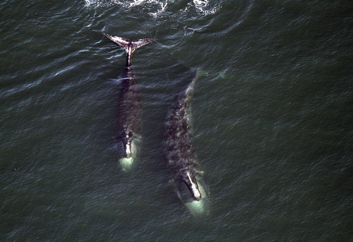 Rising right whale death toll could be