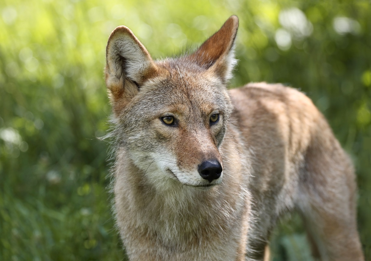 Coyote attack in Vancouver's Stanley Park injuries woman