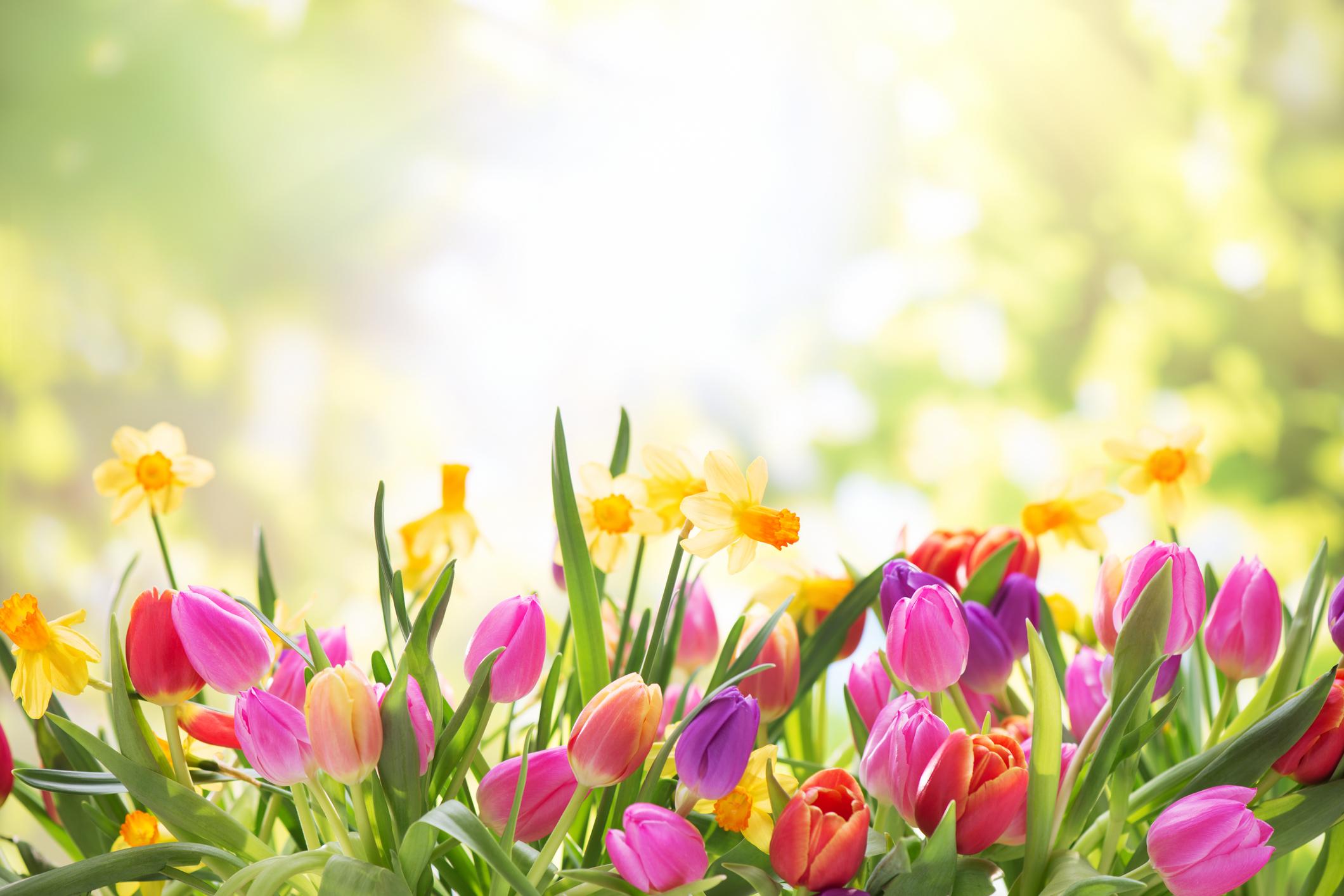 Spring In Full Bloom In At Chilliwack Tulip Festival