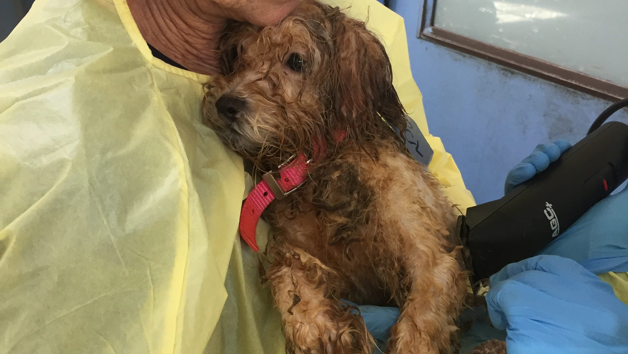 Dozens of neglected dogs surrendered to BC SPCA
