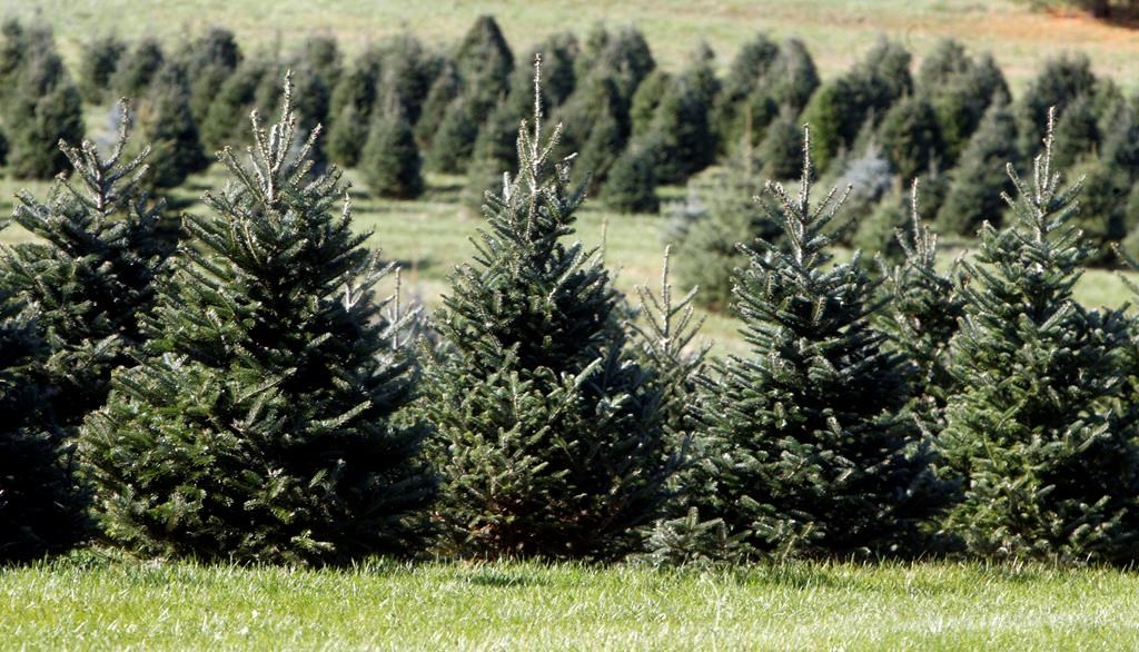 Langley Tree Farm Robbed Of $1,000 Worth Of Christmas Trees