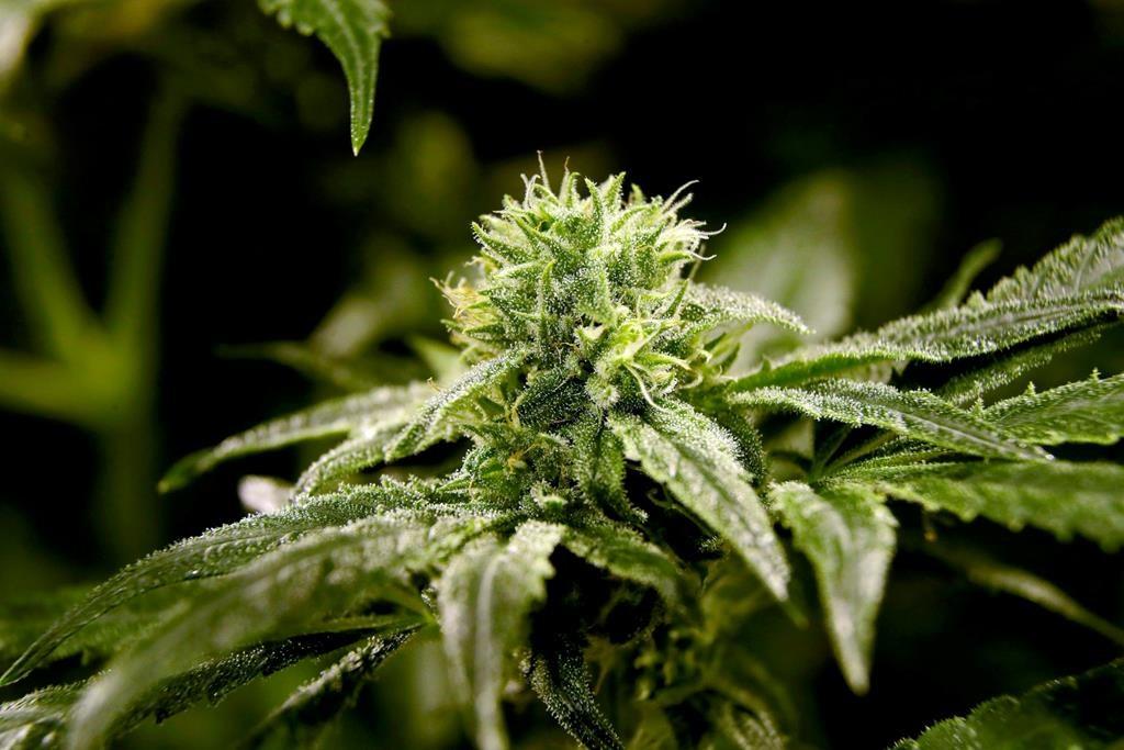 Cannabis advocates around the world convene for global Marijuana March