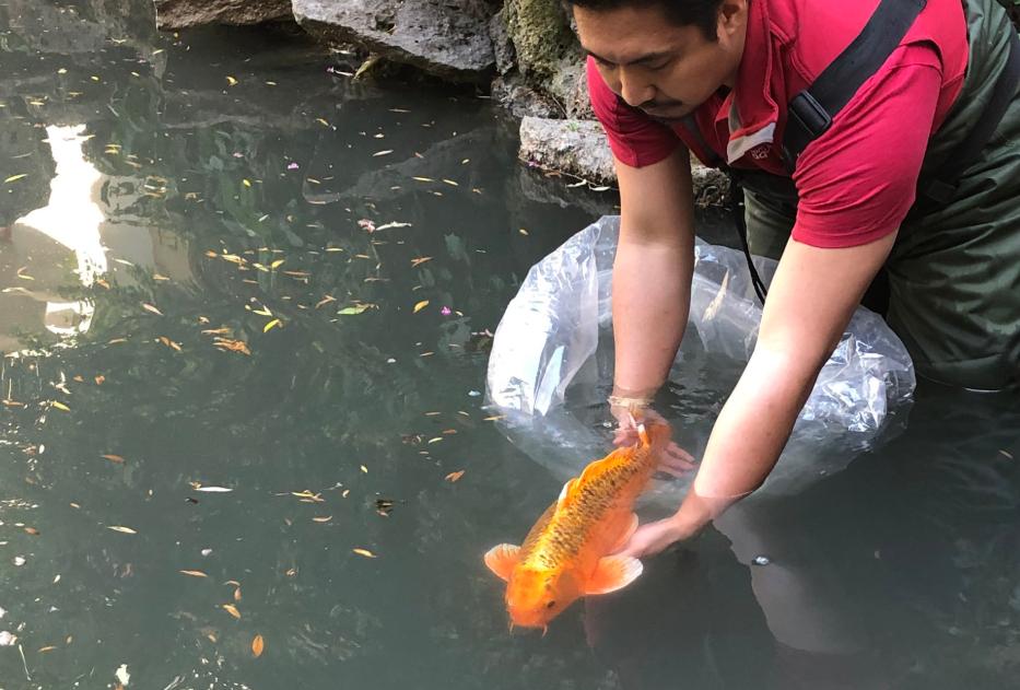 Koi returned to Dr. Sun Yat-Sen Garden pond