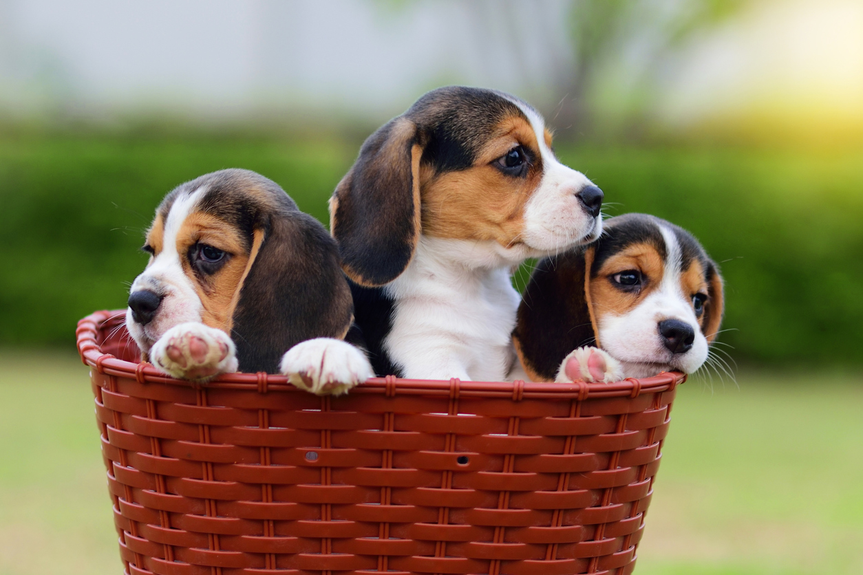 Beagle Puppies For Sale In United Arab Emirates