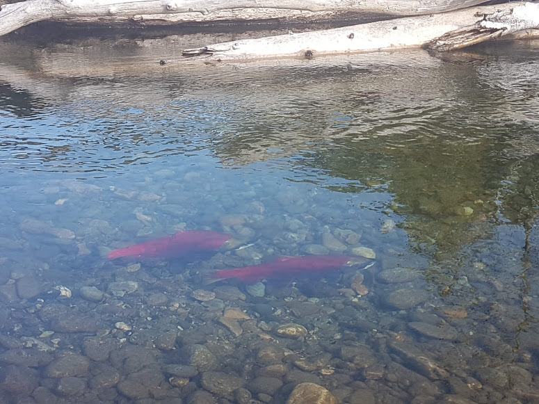 Disastrous': Worst sockeye year on record for B C
