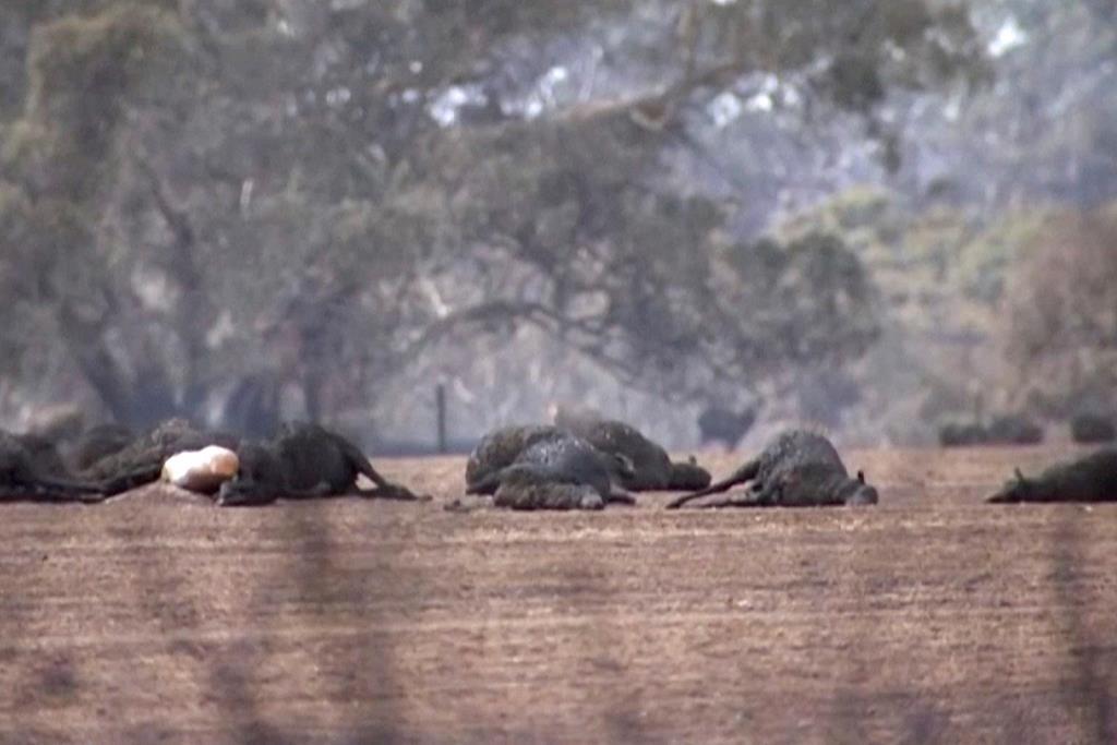 Αποτέλεσμα εικόνας για australia fires animals