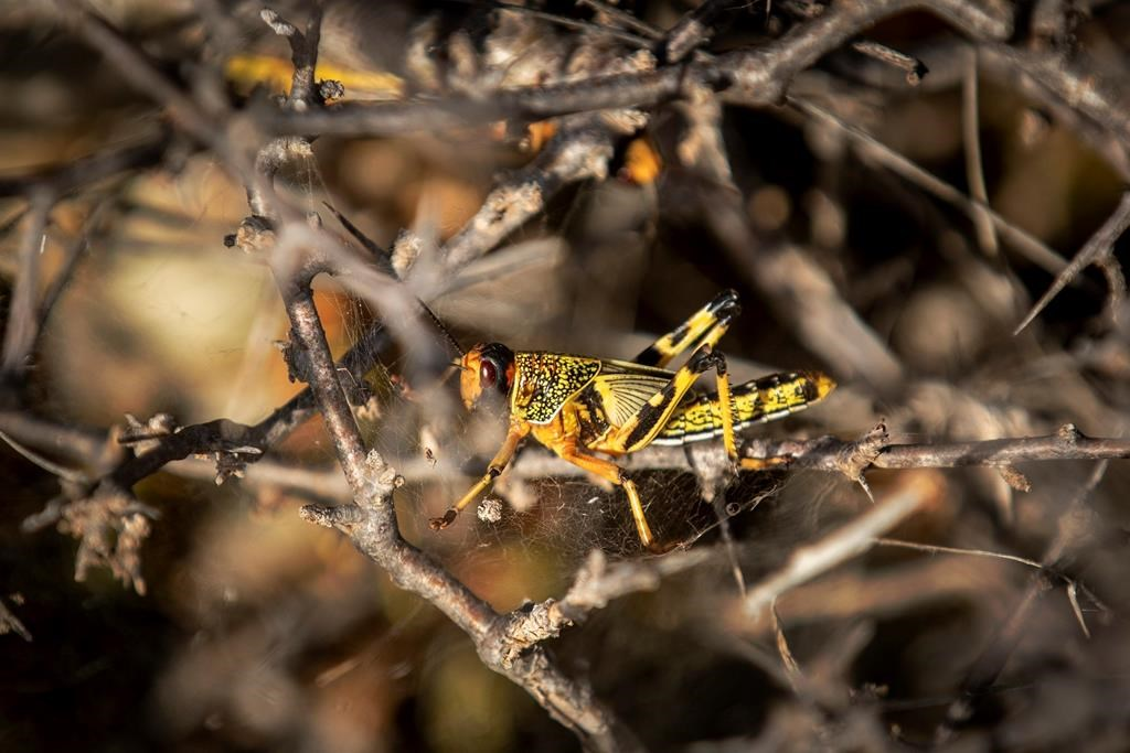 United Nations warns of 'major shock' as Africa locust outbreak spreads