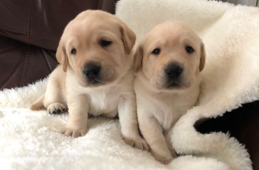 Guide Dog Puppies Bonnie And Henry Honour B C S Top Doctor News 1130