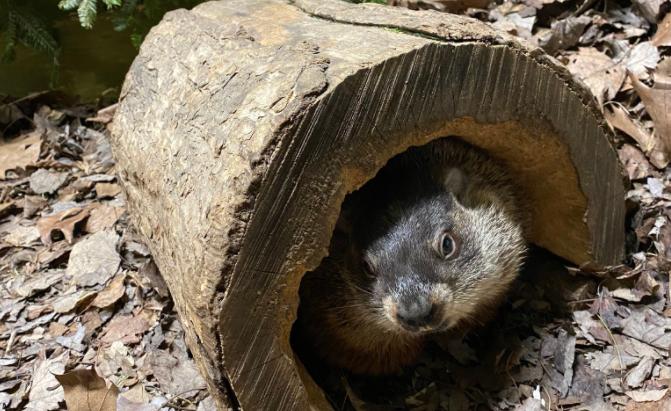 Groundhog Day: Wiarton Willie, Shubenacadie Sam predict ...