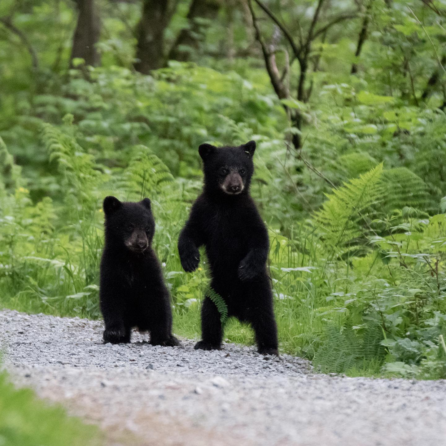 West Vancouver residents asked to be on lookout for orphan bear cubs